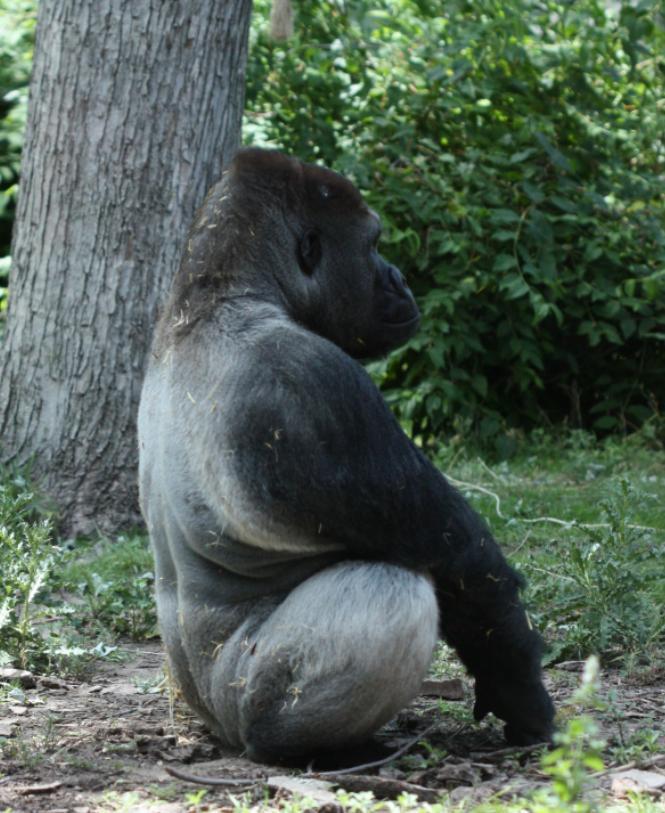 7 News Denver Zoo: The Obligate Scientist: Monday Mammal #6: The Gorilla