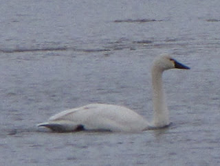 Tundra swan on Pentwater Lake