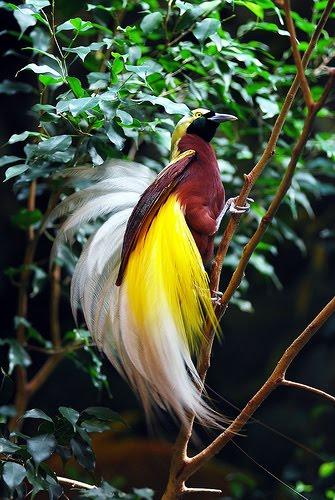 O bicho aves do para so apaixone se - Hd images of birds of paradise ...