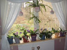 I sovrumsfönstret är det snart ett blomsterhav av strepto carptus.