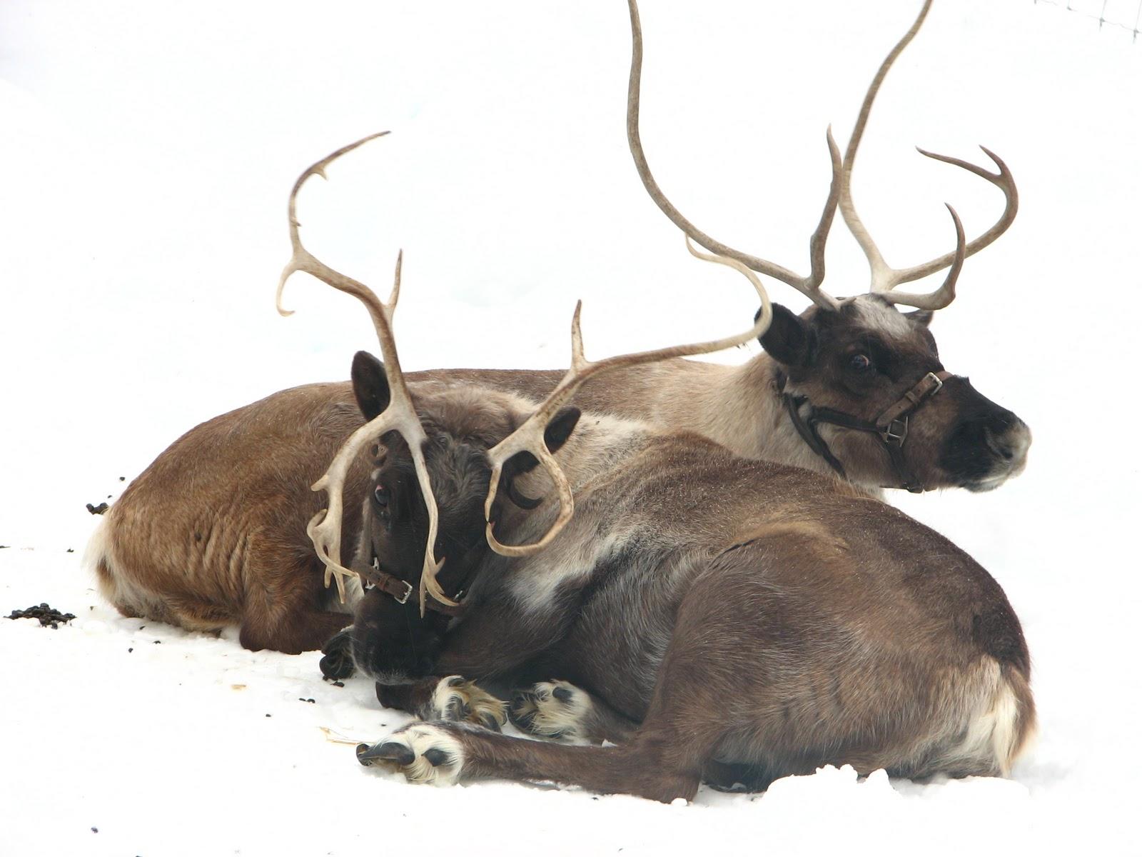 Santas Reindeer As two of santa's reindeer