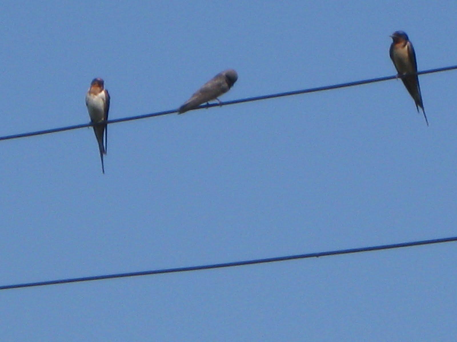 BARN SWALLOWS -- (hirundo