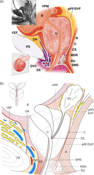 Bladder prostate anatomy