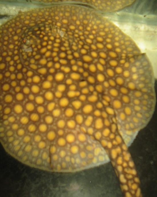 OTORONGO RAY