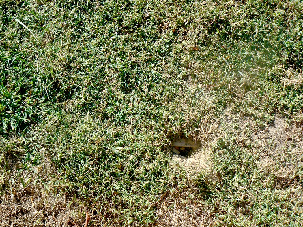 skunk digging holes in lawn skunk digging holes in lawn http www