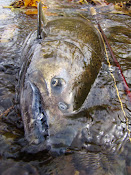 2010 Fall run Chinook salmon