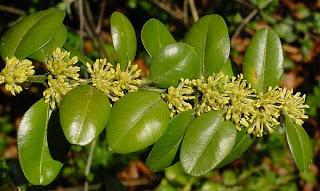 Ceaiul din frunze de Buxus sempervirens ajuta in lupta cu cancerul