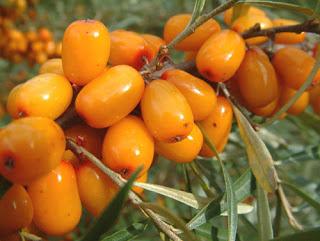 ceai din fructe de catina