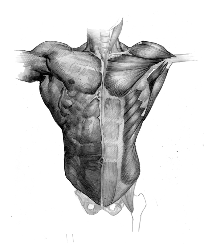 Modern Human Torso Muscles Crest Anatomy And Physiology Biology