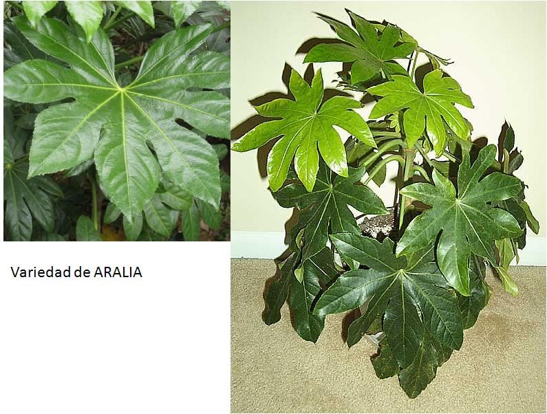 Plantas con hojas rojas y verdes - Plantas de hojas verdes ...