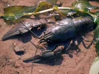 На берегу Оби нашли мертвых раков