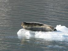 Seal basking on an ice floe, near the Esmarkbreen Glacier