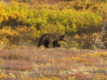 A bear! A large grizzly bear in Denali