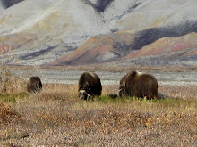 Musk oxen browsing on the Haul Road (Dalton H'way)