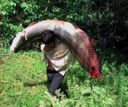 Fish moving to domestication of largest fish in amazon for Fish of the amazon