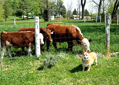 pembroke welsh corgi with cows