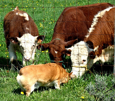 corgi kissing cows