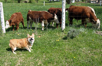 welsh corgi with cows