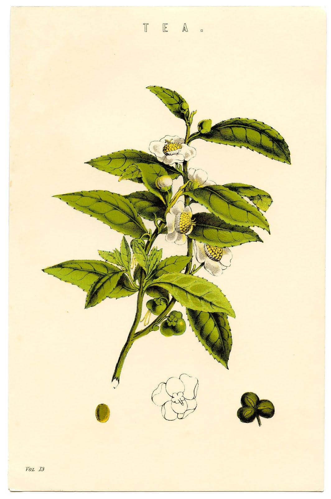 the tea plant #AmericasTea, Bigelow Tea