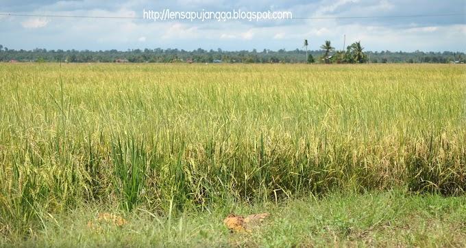 Suasana di sawah padi (bendang)