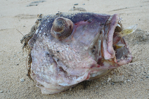 Abnormal outdoors puffer fish kills larger fish for How much is a puffer fish