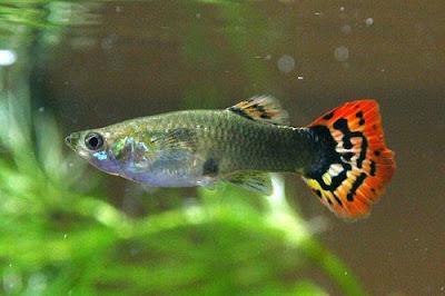 Ikan guppy (gapi)