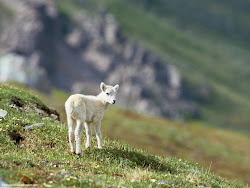 Dall Sheep Lamb,  Arctic National Wildlife Refuge, Alaska Images, Picture, Photos, Wallpapers