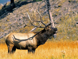 Elk, Yellowstone National Park, Wyoming Images, Picture, Photos, Wallpapers