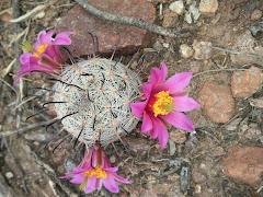 Una flor de cactácea