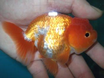 ปลาทองตัวผุ้คับ