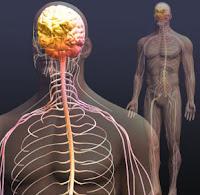 Sinir Sistemi ve Beyin