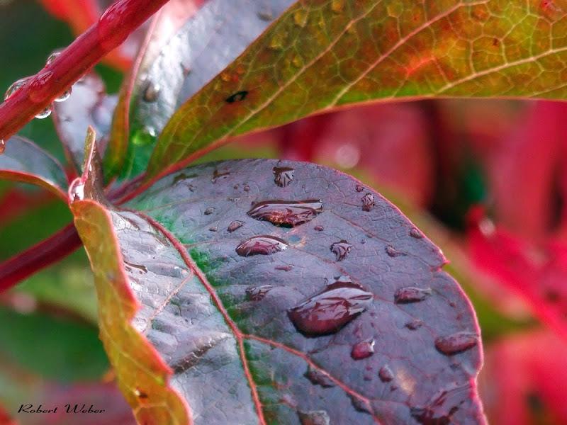 purlpe rain