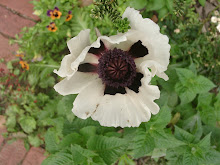 "Papaver orientalis ""checkers"""