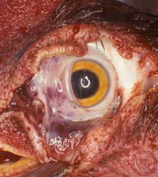 موسوعة متكامله عن امراض العين %D8%A7%D9%84%D8%AA%D9%87%D8%A7%D8%A8%D8%A7%D8%AA+%D8%AF%D8%A7%D8%AE%D9%84+%D8%A7%D9%84%D8%B9%D9%8A%D9%86