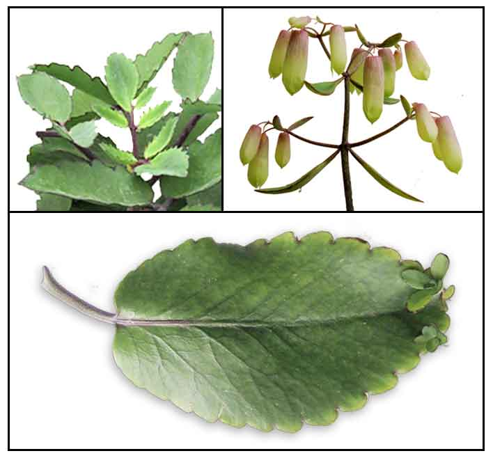 feasibility of gumamela leaf extract as Gumamela petals as dishwashing liquid: the effectiveness of gumamela petals in removing stains and grease an official requirement in research ii.