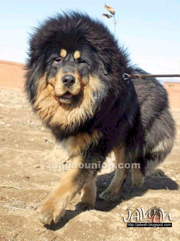 Tibetan Mastiff Dog Attack | www.pixshark.com - Images ...