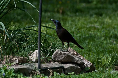 common grackle female. 2011 common grackle male.