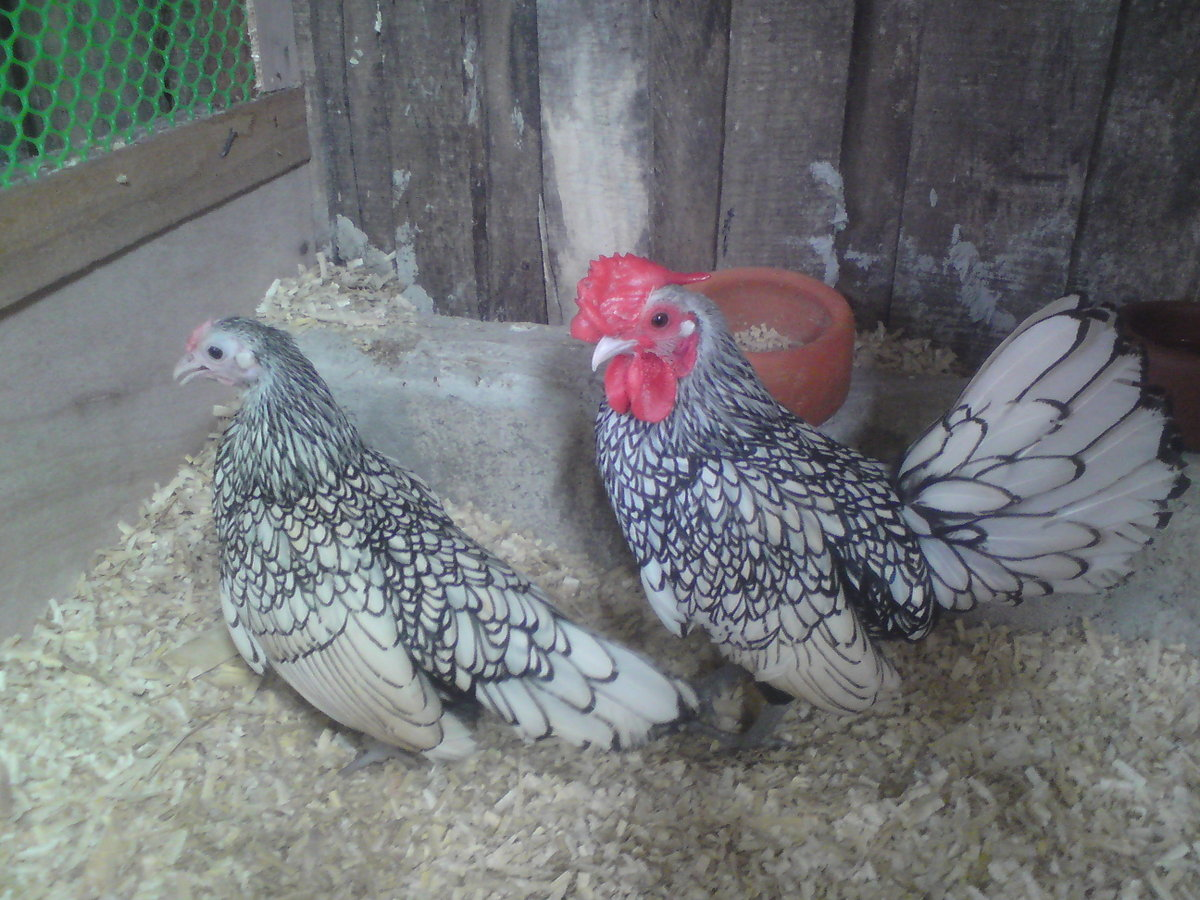 five hens being singled attacked