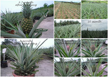 MD2 Pineapple life cycle