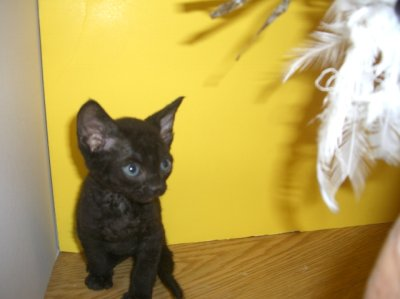 black Devon male, curly coat  kitten