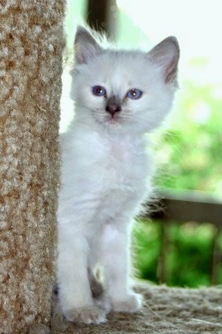 Our dear friend Kathy, of Kathy's Country Siamese and Balinese has one lilac male available now.