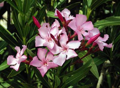 Цветы олеандра. Oleander's flowers