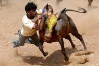 Jallikatu Tamil Culture Madurai Southern Tamilnadu Ban Court
