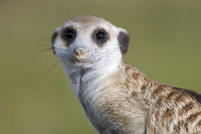 Meerkat Manor: the story begins(Now Accepting!) - Other Animals ...