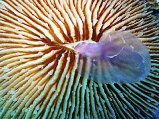 Un coral de la especie Fungia Scruposa, alimentándose de una medusa. Efe