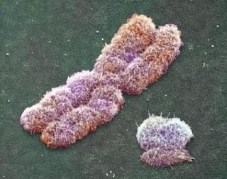 Cromosomas X e Y humanos. HGP/DOE