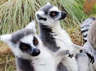Lémures, una especie endémica de Madagascar. AP