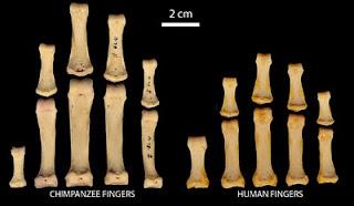 Comparativa de los dedos de chimpancé y humanos. C. Rolian