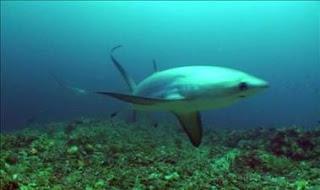 El tiburón zorro halla refugio en una isla filipina