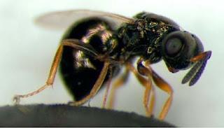 Descifran los genomas de tres especies de avispa parasitaria